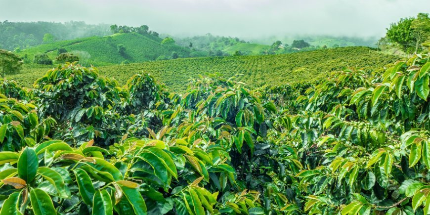 coffee region in colombia
