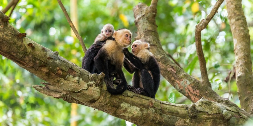 monkeys in manuel antonio
