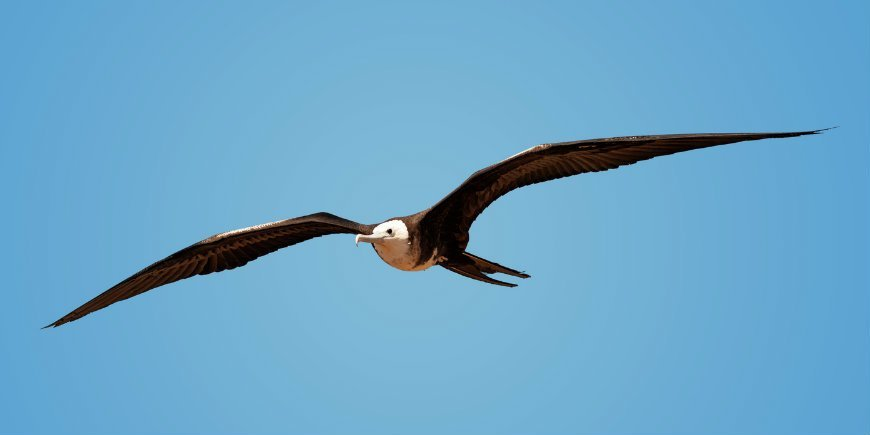The Galapagos albatross