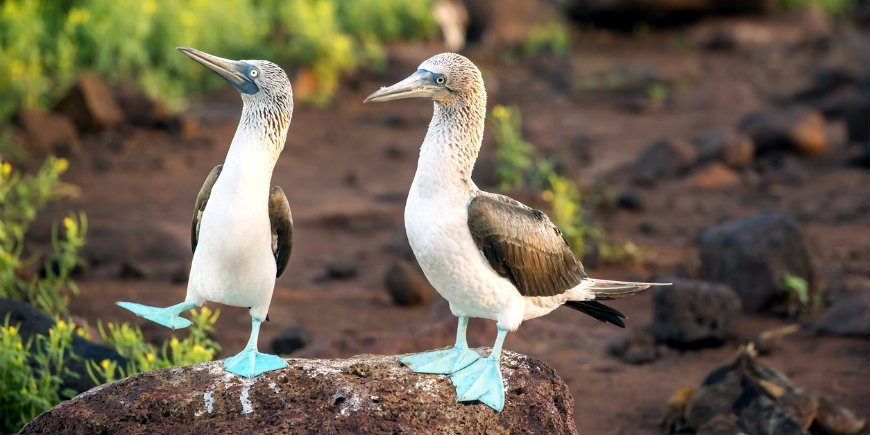 The blue-footed booby Galapagos